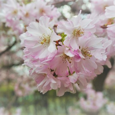 Cherry Blossom Varieties You will see in Japan right now