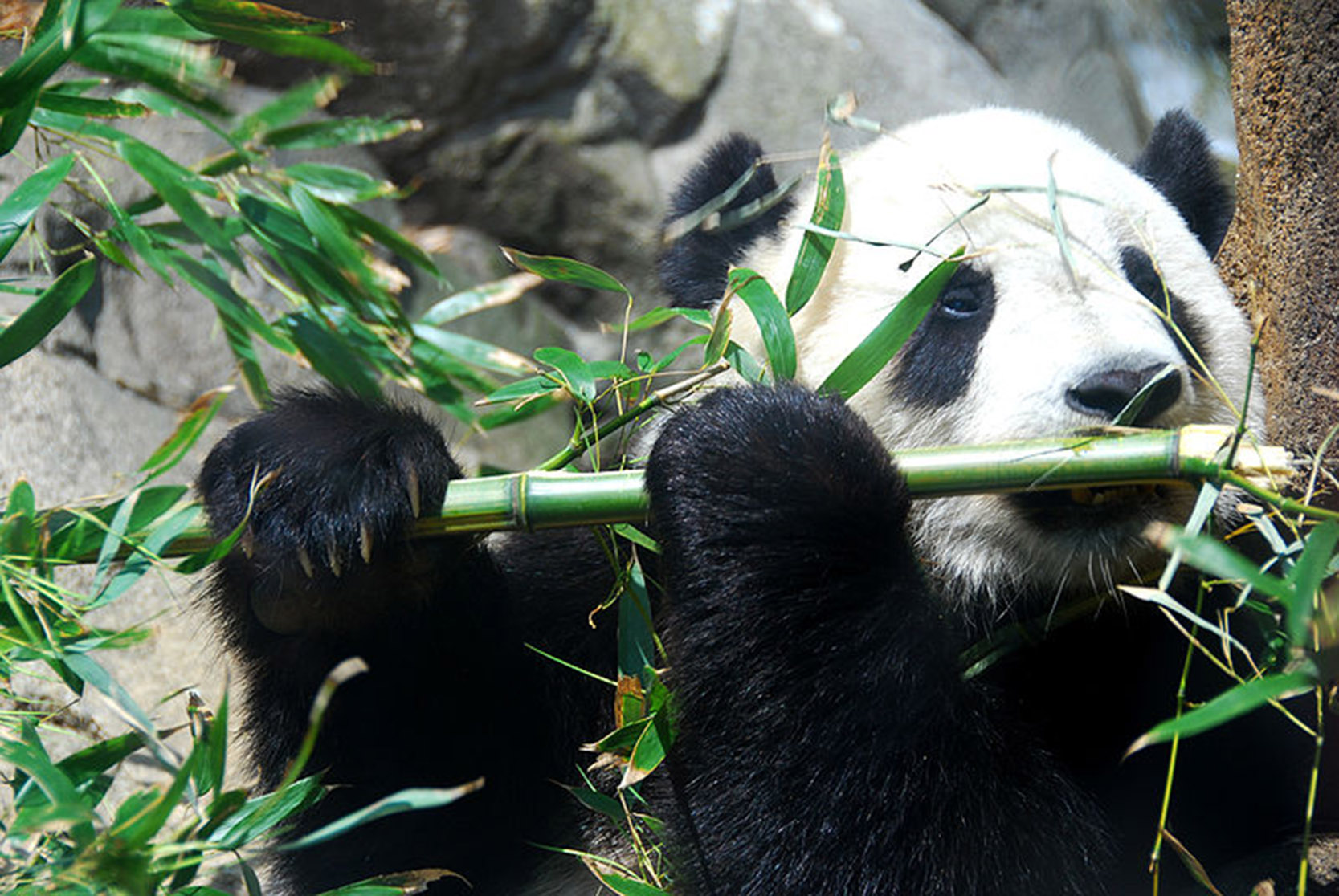 Giant Panda Tai Shan Chengdu China