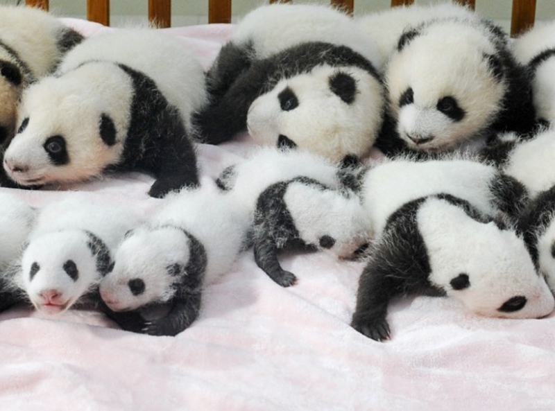 baby pandas Chengdu china