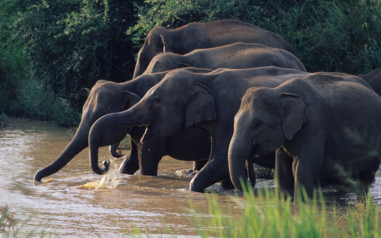 Elephants drinking river sri lanka