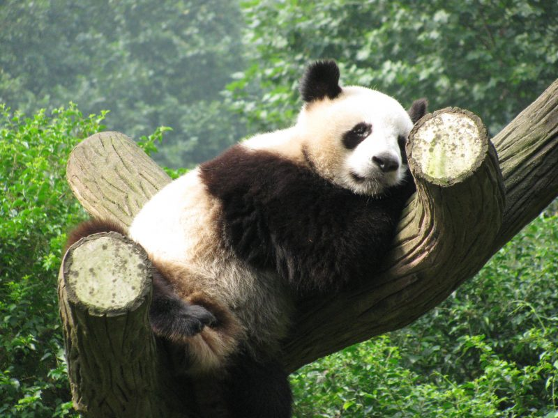 panda in tree chengdu china