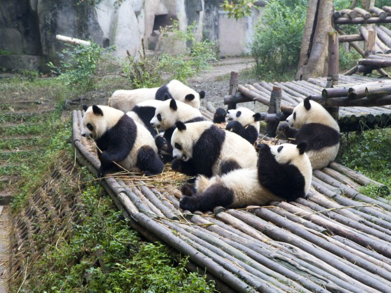 pandas playing chengdu china