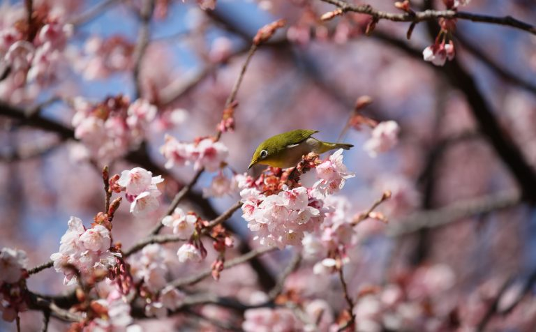 Cherry Blossom bird japan