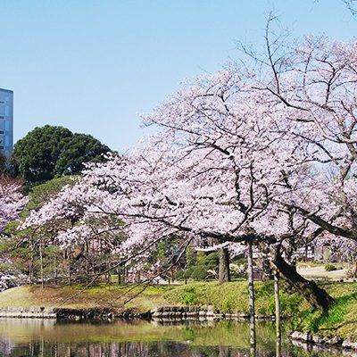 Top 5 places to admire cherry blossom in Tokyo