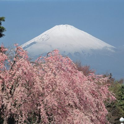 Mt Fuji Cherry Blossom japan