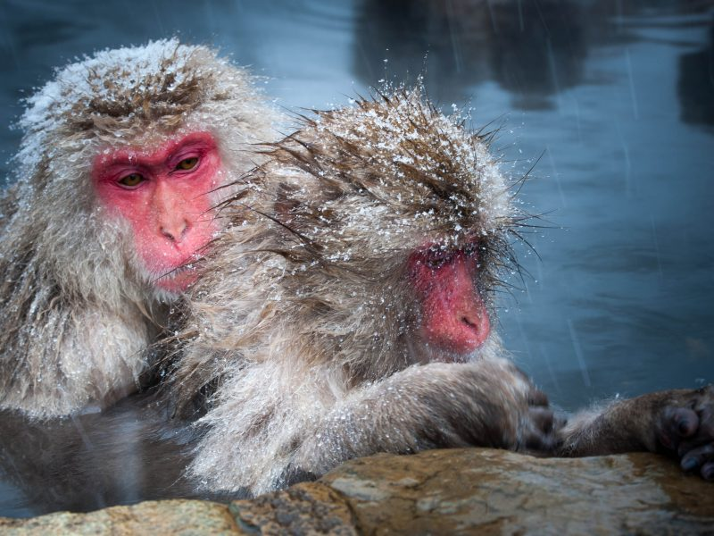 frost snow monkeys pool yudanaka japan