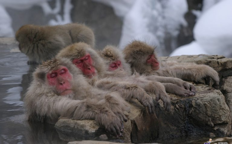 sleeping snow monkeys yudanaka japan