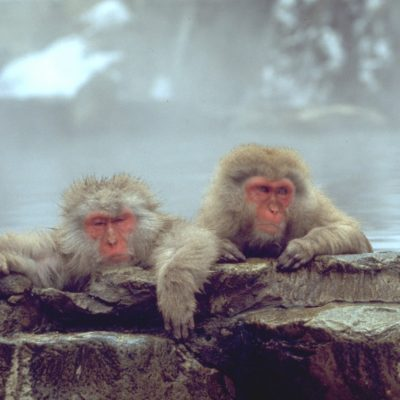 two snow monkeys yudanaka japan