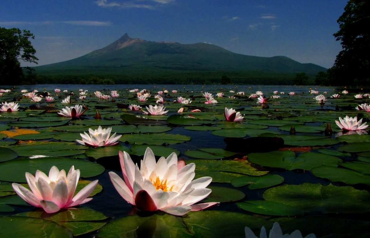 water lillies mountain Hokkaidojapan